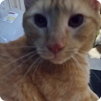 Domestic Shorthair Cat for adoption in Orlando-Kissimmee, Florida - Slick