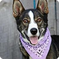 Adopt A Pet :: Indigo - Provo, UT