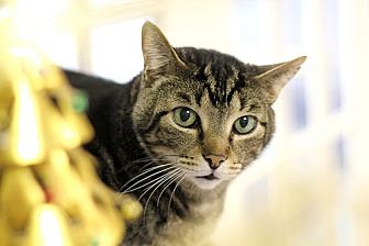 Domestic Shorthair Cat for adoption in Chicago, Illinois - Mitch