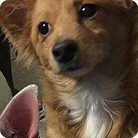 Adopt A Pet :: A346078 Caramel - San Antonio, TX
