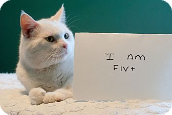 Domestic Shorthair Cat for adoption in Marietta, Georgia - Samson B