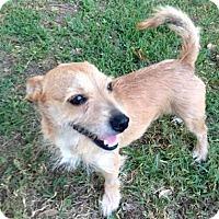 Adopt A Pet :: Chester - Austin, TX