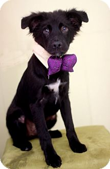 Pumi/Border Collie Mix Puppy for adoption in Dalton, Georgia - Toby