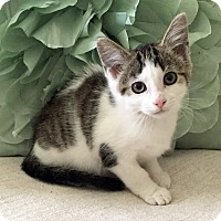 Adopt A Pet :: Tiny - Addison, IL
