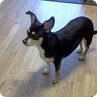 Chihuahua Dog for adoption in Londonderry, New Hampshire - Chloe
