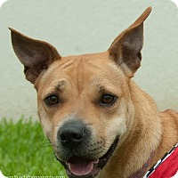 Beagle/Labrador Retriever Mix Dog for adoption in Vancouver, British Columbia - Foxi Roxi