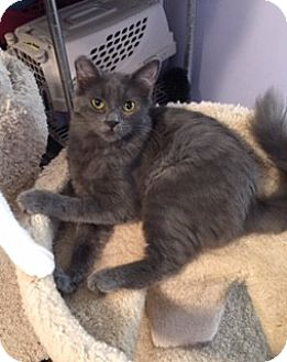 Russian Blue Cat for adoption in Brea, California - SMOKEY
