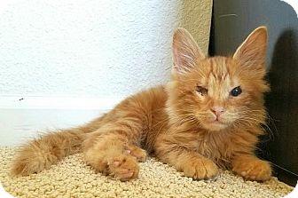 Domestic Mediumhair Kitten for adoption in Pittsburg, California - **Beauregard 'Bo' Duke -- Cats of Hazzard