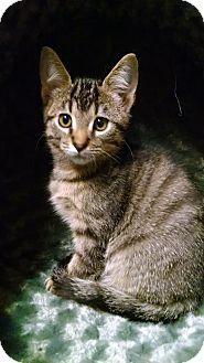 Domestic Shorthair Kitten for adoption in Garden City, Michigan - Big Guy aka BG