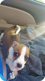Chihuahua Mix Puppy for adoption in Weatherford, Texas - Pokie