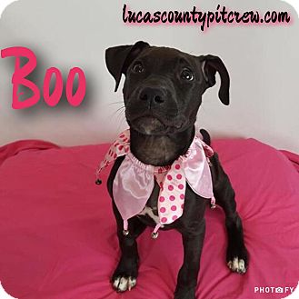 American Pit Bull Terrier/Labrador Retriever Mix Puppy for adoption in Toledo, Ohio - Boo