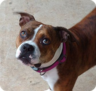 Boxer/American Staffordshire Terrier Mix Dog for adoption in Charlotte, North Carolina - Desi