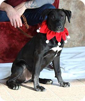 Labrador Retriever/Border Collie Mix Puppy for adoption in Hanover, Ontario - Ivy
