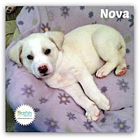 Adopt A Pet :: Nova - Plainfield, IL