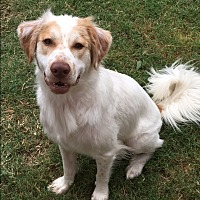 Brittany/Great Pyrenees Mix Dog for adoption in Van Alstyne, Texas - Chance