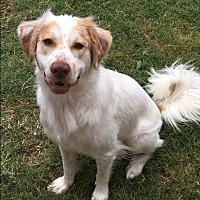 Adopt A Pet :: Chance - Van Alstyne, TX