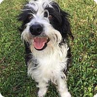 Adopt A Pet :: Dandy - Houston, TX