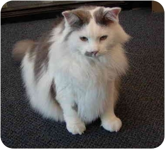 Maine Coon Cat for adoption in San Ramon, California - Sparky