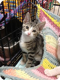 Bengal Kitten for adoption in Fort Lauderdale, Florida - Tina