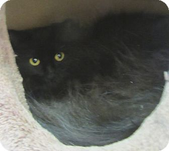 Domestic Longhair Cat for adoption in Mobile, Alabama - Nochi