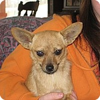 Pomeranian/Chihuahua Mix Dog for adoption in Westport, Connecticut - The Fabulous Miss Ashleigh