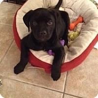 Adopt A Pet :: BabyEllie - Marlton, NJ