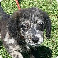 Adopt A Pet :: Shay - Brattleboro, VT