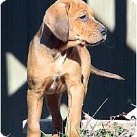 Adopt A Pet :: Winter Wonderland - Chestnut - Dallas, TX