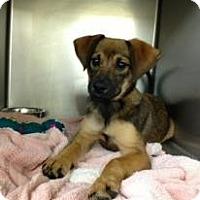 Adopt A Pet :: Savanna - Ft. Lauderdale, FL