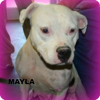 Adopt A Pet :: MAYLA - Henderson, KY