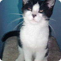 Domestic Shorthair Kitten for adoption in Burlington, Ontario - Dakota