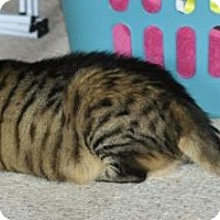 Domestic Shorthair Cat for adoption in Bowling Green, Virginia - Sonia
