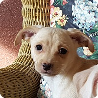 Adopt A Pet :: Max - Puppy! - Bend, OR