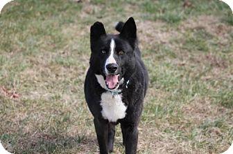 Alaskan Malamute/Labrador Retriever Mix Dog for adoption in Chatham, Virginia - Bailey