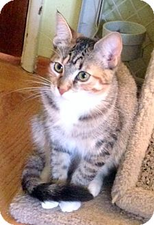 Domestic Shorthair Cat for adoption in San Leandro, California - Nutmeg