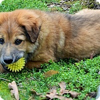 Adopt A Pet :: Shiloh - Spring Valley, NY