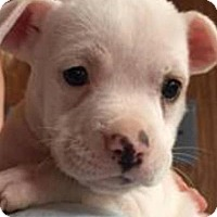 Adopt A Pet :: Lasagna - Barnegat, NJ