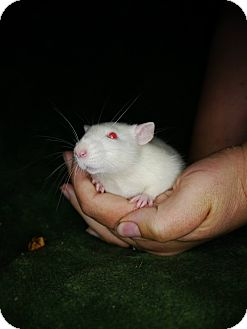 Rat for adoption in Welland, Ontario - Liona
