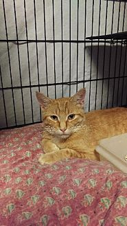 Domestic Shorthair Cat for adoption in Brainardsville, New York - Donald