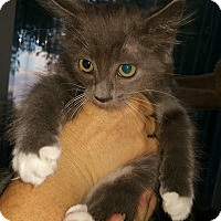 Domestic Mediumhair Kitten for adoption in Grand Junction, Colorado - Larry