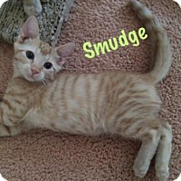 Adopt A Pet :: Smudge - Devon, PA