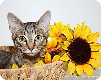 Domestic Shorthair Cat for adoption in Hazel Park, Michigan - Bogie