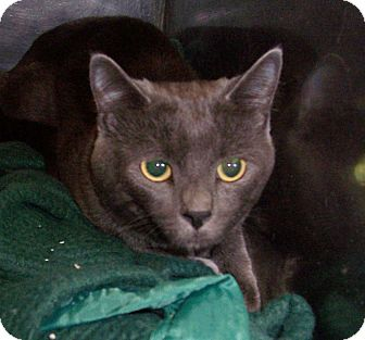 Domestic Shorthair Cat for adoption in Fall River, Massachusetts - Shadow