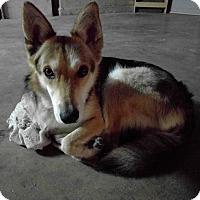 German Shepherd Dog/Husky Mix Dog for adoption in Monterey Park, California - Katsu