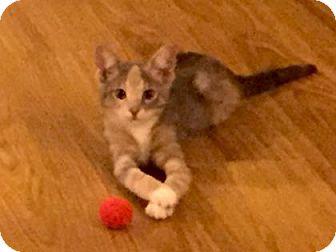 Domestic Shorthair Kitten for adoption in Bulverde, Texas - Poundcake