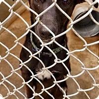 Adopt A Pet :: Angelina - Urgent! - Zanesville, OH