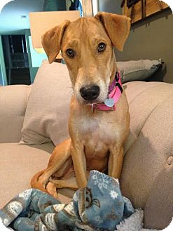 Black Mouth Cur Mix Dog for adoption in Huntley, Illinois - River