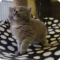 Adopt A Pet :: Arya - Washougal, WA