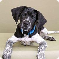 Adopt A Pet :: Pistol - Sudbury, MA