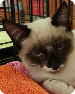 Snowshoe Cat for adoption in Powder Springs, Georgia - ADDISON